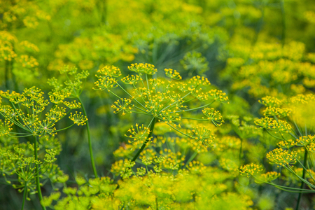 Yellow flower of green dill fennel in garden as natural summer background Stock Photo