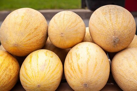 Fresh yellow melon. Many melons in the farmers market. Close-up many melons. Summer tray market agriculture farm full of organic fruits. Healthy eating