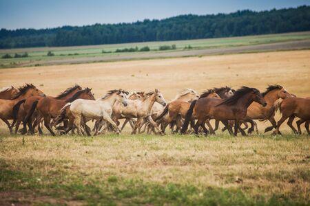 Una manada de caballos salvajes corre por el campo. Una gran manada de hermosos caballos galopa por el campo en verano.