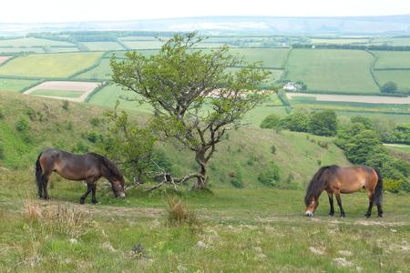 exmoor: Exmoor Ponies