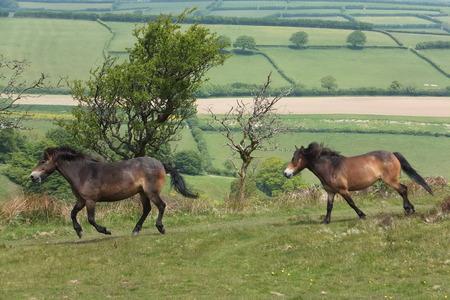 Exmoor ponies Stock Photo