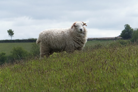 A sheep in a field in Exmoor National Park