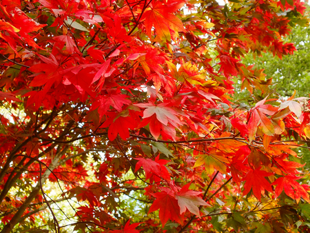 Bright Red Maple Leaves Stock Photo