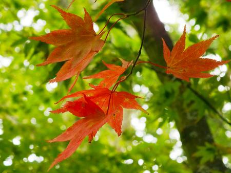 acer palmatum: Colourful Leaves