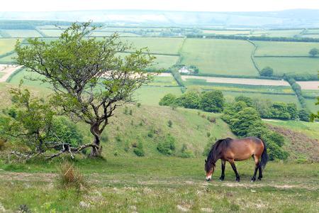 feral: Exmoor Pony Stock Photo