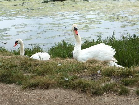 Swans protecting their cygnets at the side of a footpath