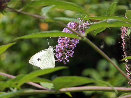 pieris: Cabbage White Butterfly on Lilac Flowers