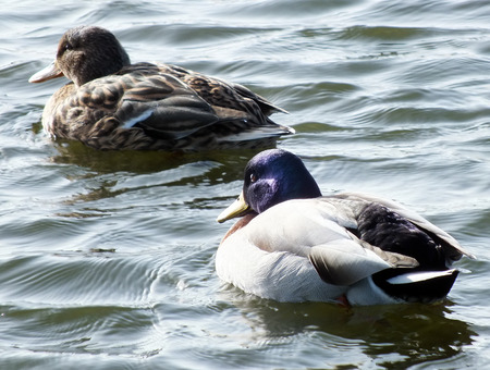 Male and Female Mallard Ducks