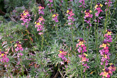 Erysimum colourful flowers