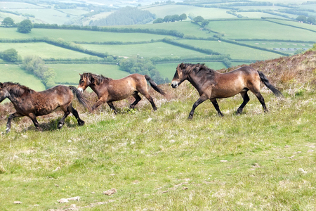 Exmoor Ponies Running Together