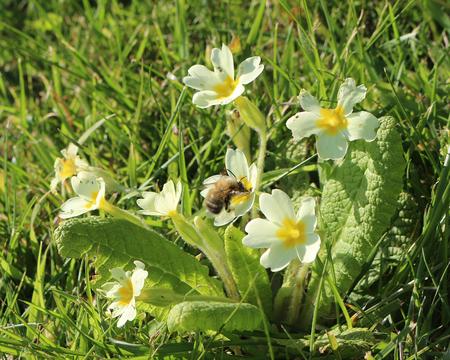 Primula vulgaris, common yellow primrose, with a worker honey bee feeding on nectar