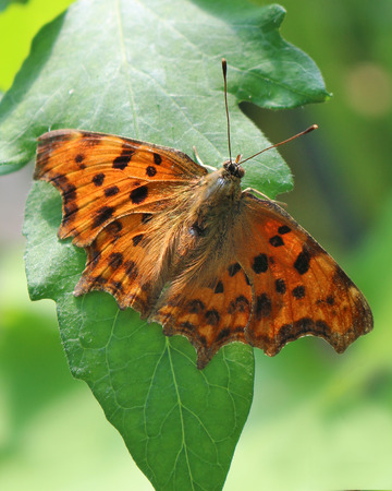 A Comma butterfly, Polygonia c-album, on a leaf Reklamní fotografie