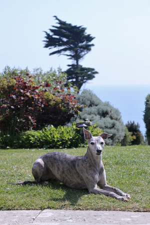 Blue Brindle Whippet in a Garden