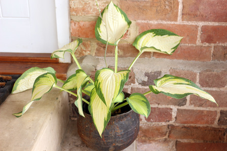 A Hosta Plant or Plantain Lily in a Pot outside
