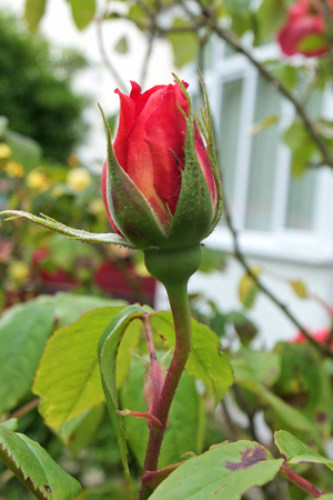 A closed red rosebud growing in a garden