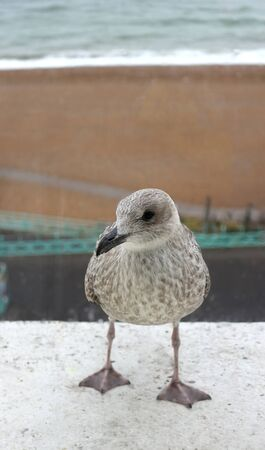 A cute seagull chick outside the window looking for something to eat