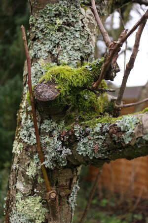 Moss and Lichen Growing on an Old Pear Tree Stockfoto