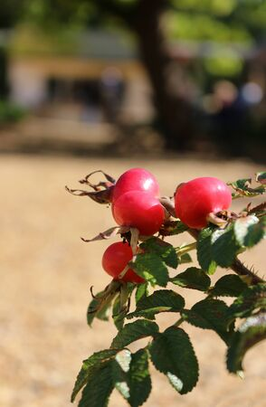 Rose hips growing on Rosa rugosa