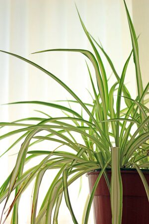 Spider Plant in a pot. Chlorophytum comosum is a popular houseplant often called the Spider Plant.
