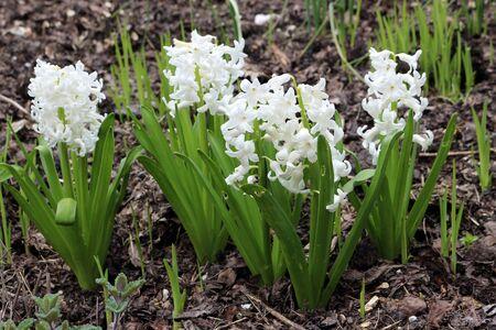 White Hyacinth flowers growing in Spring