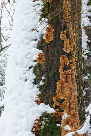 The trunk of a tree covered with snow on side and orange trametes fungi on the other