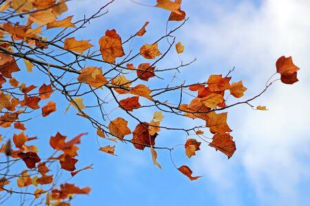 Orange colored Tulip Tree leaves in Autumn