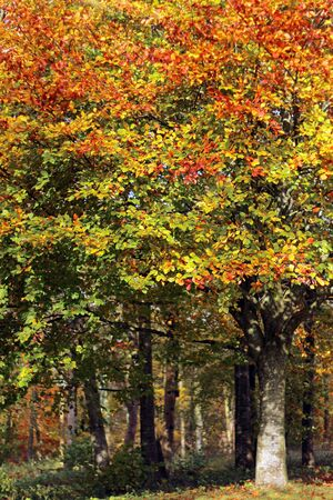 Different coloured leaves of a Beech tree in the fall Фото со стока - 135146385