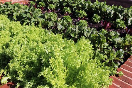 Fresh salad leaves growing in a vegetable garden Фото со стока