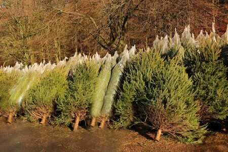 Real Christmas trees cut and ready for sale Фото со стока