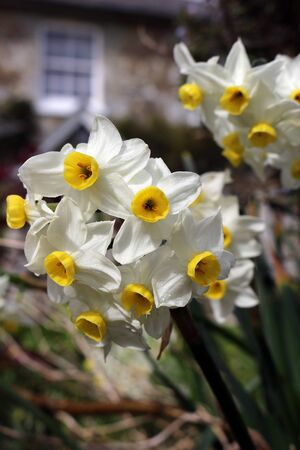 White Narcissus Minnow flowers growing in a garden Фото со стока