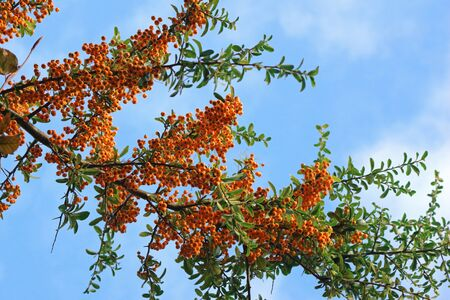 Orange berries on a branch of a Rowan tree or mountain ash