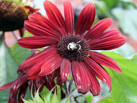 A dark red sunflower daisy flower with a bumble bee collecting pollen