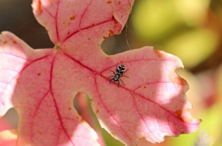 A tiny Zebra spider, Salticus scenicus, on a red autumnal leaf