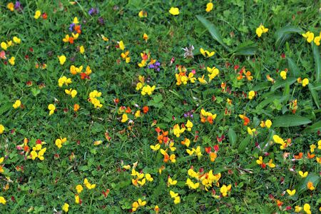 A lawn with common birds-foot trefoil growing