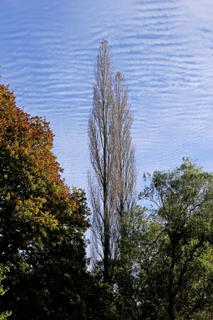 Tall trees against a mackerel sky