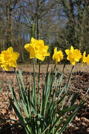 Close up of yellow daffodils in the sunshine, growing in a park