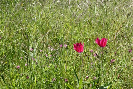 Two dark pink tulips growing in a wildflower meadow with clover and different grasses