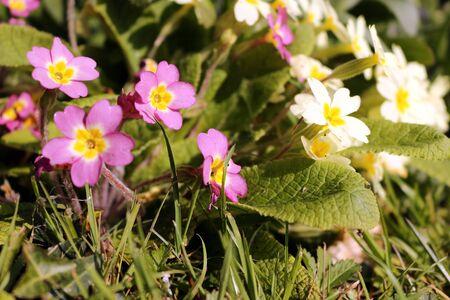 Pink and Yellow Primroses, Primula Vulgaris and Primula Vulgaris Sibthorpii Stock Photo