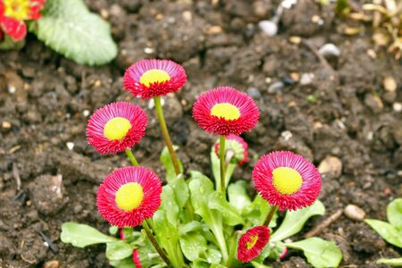 Bellis perennis, developed from the common wild daisy