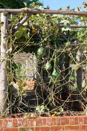 Ornamental gourds growing on frames in a garden