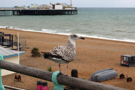Brighton, East Sussex, England. 9th September 2019. A young herring gull near the Palace Pier, Brighton