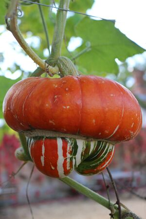 A turban squash growing on the vine Standard-Bild