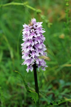 Dactylorhiza maculata, known as the heath spotted orchid
