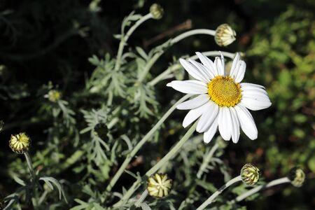 Leucanthemum × superbum, or Shasta daisy