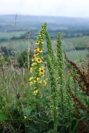 Verbascum, also known as mullein Standard-Bild - 150177658