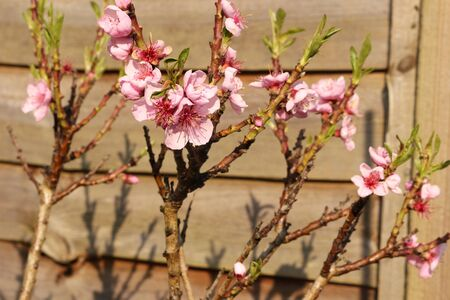 Pink fruit blossom on a young peach tree Standard-Bild