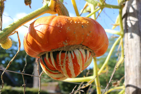 A turban squash growing outside on the vine