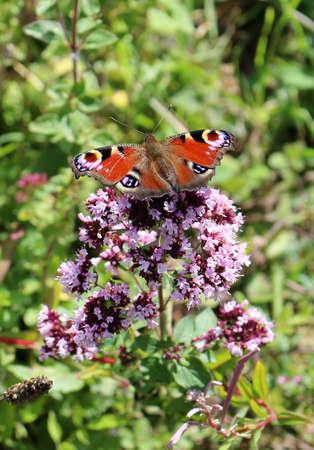 European peacock butterfly, Aglais io, on a flower