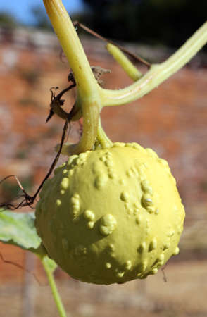 a knobbly yellow gourd growing on the vine Фото со стока