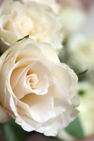 beautiful white roses close up